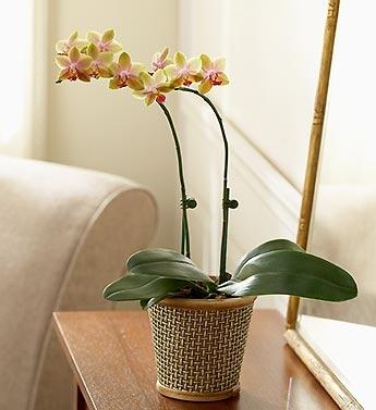 Çiftli Sarı Orkide